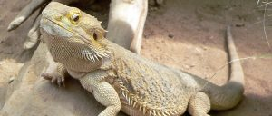 bearded-dragon-crop