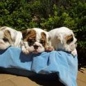 Val Philip Bulldog Puppies